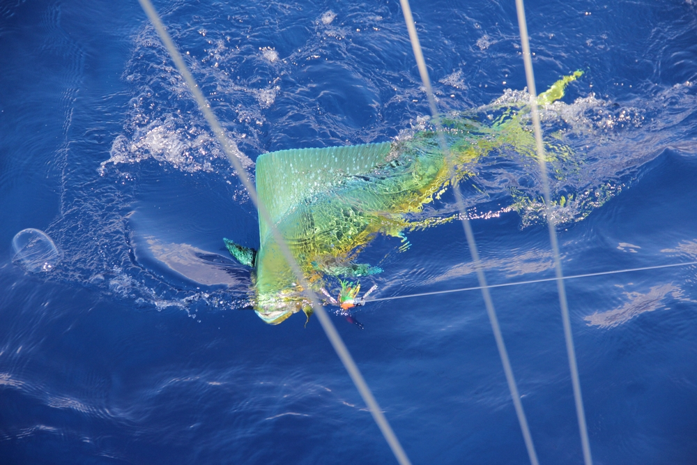 Madeira Big Game Fishing Dorado