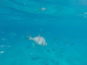 Grijze Trekkervis-tijdens snorkelen Sardinië