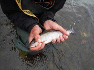Grayling (vlagzalm) op de Upper river Wye